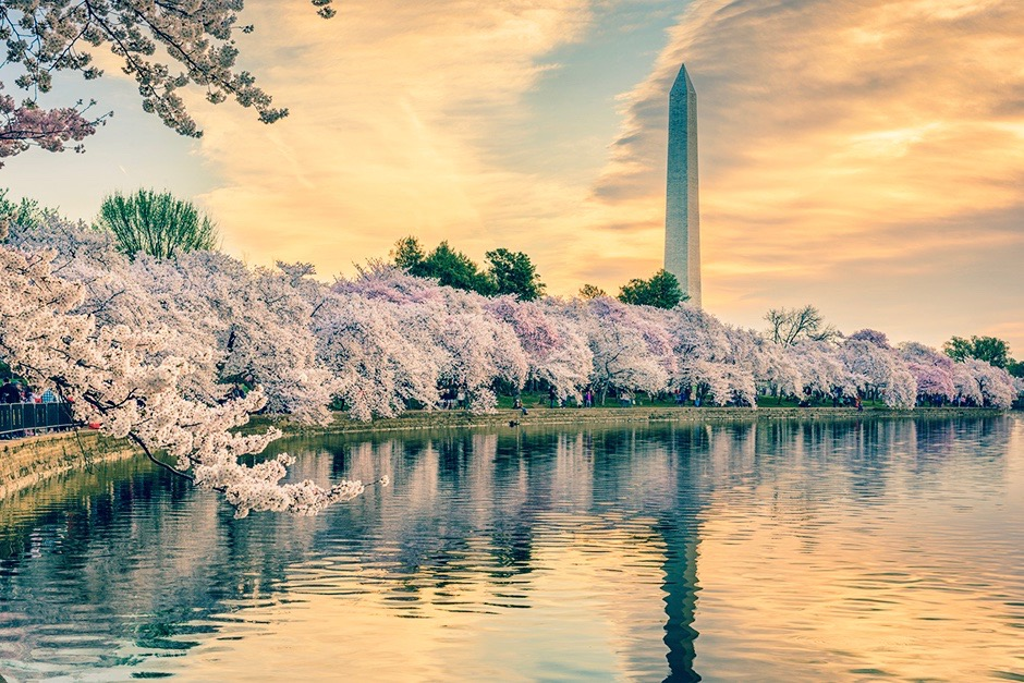 Washington-DC-cherry-blossoms-small 2